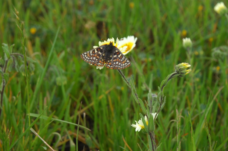 Bay_Checkerspot_butterfly_FWS